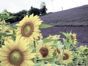 lavender-2-1370060-m