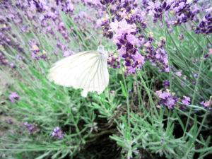 lavender-3-1370062-m