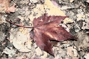 red-leaf-1340341-m