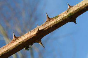 thorns-499062-m