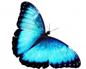 blue-morpho-butterfly_post